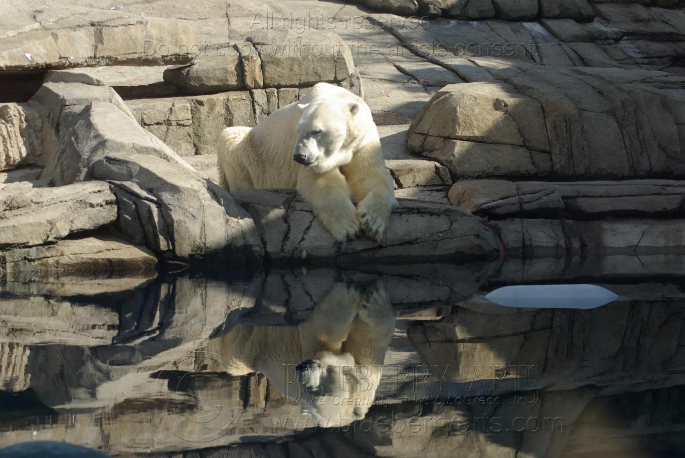 A Bear in Reflection